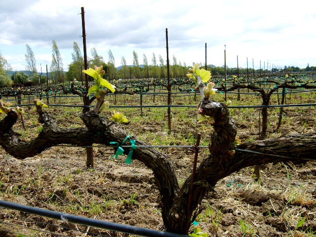 Napa Vines in spring
