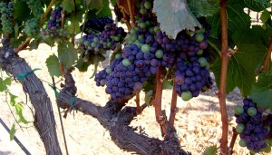 Grapes at Pisoni Estate, Santa Lucia Highlands