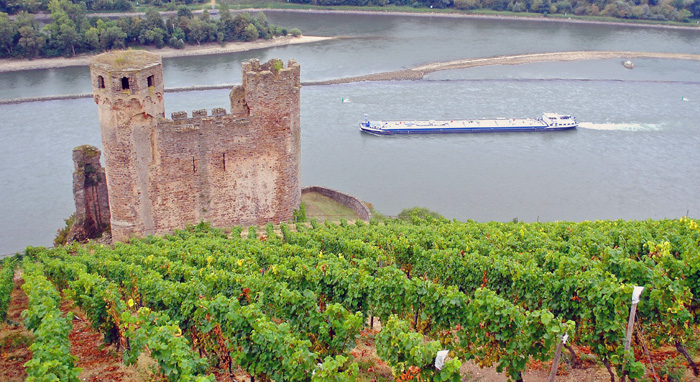 Germany 2016 Leitz's Schlossberg vines overlooking the Rhein photo by Kerry Winslow, grapelive.com