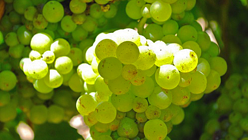 This image has an empty alt attribute; its file name is Chenin.jpg